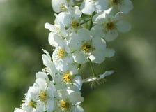 Fiori bianchi della frutta Fotografia Stock Libera da Diritti