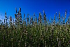 Fiori bianchi della lavanda veduti vicino in su Fotografie Stock Libere da Diritti