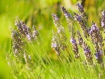 Fiori bianchi della lavanda veduti vicino in su Fotografie Stock