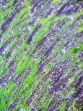 Fiori bianchi della lavanda veduti vicino in su Fotografia Stock
