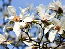 Fiori bianchi della magnolia Fotografie Stock Libere da Diritti