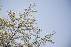 Fiori bianchi della magnolia sull'albero Fotografia Stock Libera da Diritti