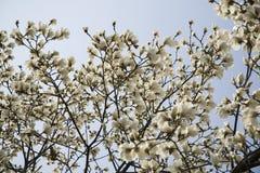 Fiori bianchi della magnolia sull'albero Fotografie Stock