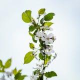 Fiori bianchi della mela fotografia stock libera da diritti