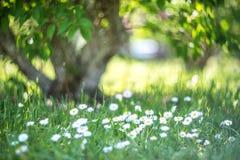Fiori bianchi della molla Fotografie Stock
