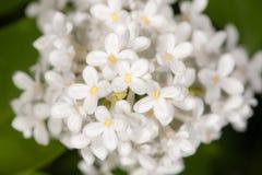 Fiori bianchi della molla Immagine Stock