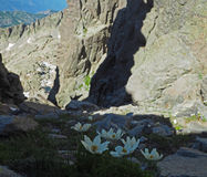 Fiori bianchi della montagna nella valle rocciosa fotografia stock