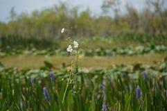 Fiori bianchi della palude in ninfee Fotografia Stock Libera da Diritti