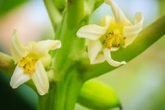 Fiori bianchi della papaia sulla cima d'albero Fiore organico della papaia sul TR Fotografia Stock