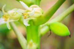 Fiori bianchi della papaia sulla cima d'albero Fiore organico della papaia sul TR Immagine Stock