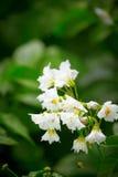 Fiori bianchi della patata Fotografie Stock Libere da Diritti