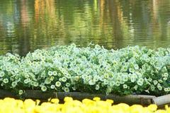 Fiori bianchi della petunia che fioriscono nella zattera di bambù sul fondo dell'acqua fotografia stock