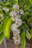 Fiori bianchi della pianta di cereale in piena fioritura immagine stock