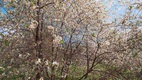 Fiori bianchi della primavera di un ciliegio La macchina fotografica muove la vista del primo piano archivi video