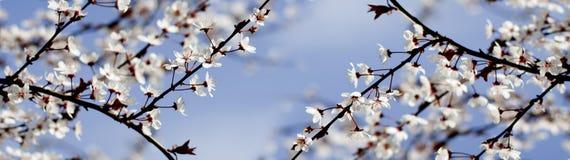 Fiori bianchi della primavera su un albero contro il cielo blu Fiori panoramici dei fiori di ciliegia della molla Immagini Stock Libere da Diritti