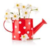 Fiori bianchi della sorgente in vaso rosso Fotografia Stock Libera da Diritti