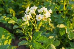 Fiori bianchi delle patate su una piantagione al tramonto fotografia stock