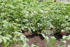 Fiori bianchi delle piante di patate che crescono nel giardino Immagine Stock