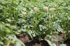 Fiori bianchi delle piante di patate che crescono nel giardino Fotografie Stock Libere da Diritti