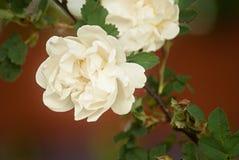Fiori bianchi delle rose selvatiche Fotografia Stock Libera da Diritti
