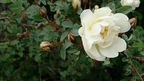 Fiori bianchi delle rose selvatiche Immagini Stock