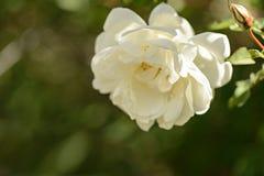 Fiori bianchi delle rose selvatiche Fotografie Stock Libere da Diritti