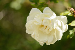 Fiori bianchi delle rose selvatiche Fotografia Stock