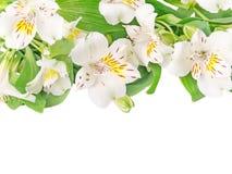 Fiori bianchi di alstroemeria isolati su bianco Immagine Stock