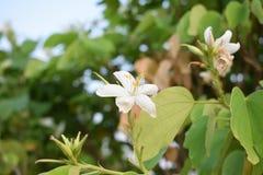 Fiori bianchi di estate in maharashtra India fotografia stock