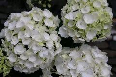 Fiori bianchi di hortensia sul mercato dei farmercon fondo scuro fotografia stock