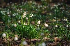 Fiori bianchi di leucojum nelle parti anteriori di una molla Fotografia Stock Libera da Diritti