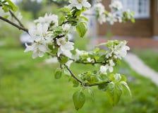 Fiori bianchi di melo nel giardino Immagini Stock Libere da Diritti