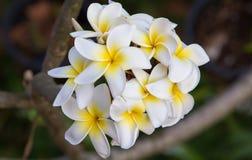 Fiori bianchi di plumeria Fotografia Stock