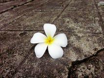 Fiori bianchi di plumeria Immagini Stock