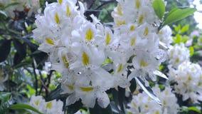 Fiori bianchi di rododendro Il movimento della macchina fotografica permette di vedere il fiore da tutti i lati del fiore messo i video d archivio