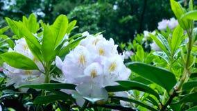 Fiori bianchi di rododendro Il movimento della macchina fotografica permette di vedere il fiore da tutti i lati del fiore messo i stock footage