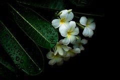 Fiori bianchi di Sud-est asiatico Fotografia Stock