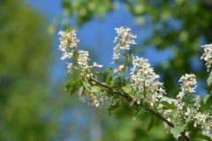 Fiori bianchi di un Apple-albero Fotografia Stock Libera da Diritti