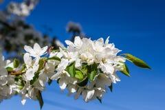 Fiori bianchi di un Apple-albero e foglie della molla sul backgrou Fotografie Stock