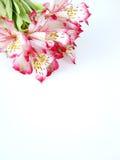 Fiori bianchi e dentellare di Alstroemeria Fotografia Stock