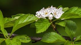Fiori bianchi e fogli di verde Immagini Stock