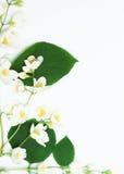 Fiori bianchi e fogli di verde Immagine Stock