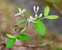 Fiori bianchi e foglie verdi del caprifoglio giapponese Immagine Stock