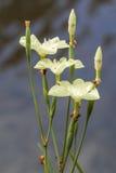 Fiori bianchi e germogli con il gambo verde fotografia stock