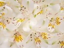 Fiori bianchi e gialli di alstroemeria Fotografia Stock Libera da Diritti