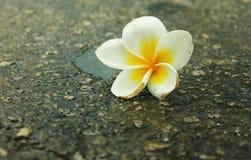 Fiori bianchi e gialli sulla strada Fotografie Stock
