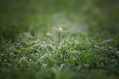 Fiori bianchi e gocce della rugiada di mattina Fotografia Stock Libera da Diritti