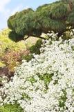 Fiori bianchi e un albero di pino Fotografie Stock Libere da Diritti