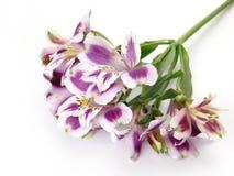 Fiori bianchi e viola di Alstroemeria Fotografia Stock Libera da Diritti