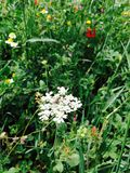 Fiori bianchi in erba Immagini Stock Libere da Diritti